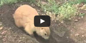 Prairie Dogs (Animal Planet)